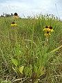 Rudbeckia grandiflora.jpg