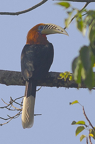Mahananda Wildlife Sanctuary - Image: Rufous necked Hornbill Mahananda Wildlife Sanctuary West Bengal India 06.12.2015