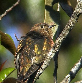 Description de l'image Rufous-throated_Bronze_Cuckoo.jpg.
