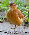 Rufous Hornero (Furnarius rufus) (31657600905).jpg