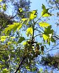 Ruhland, Grenzstraße, Wald gegenüber Hausnr. 2, Roteiche, Zweigspitze mit Blättern und Blüten, Frühling, 04.jpg