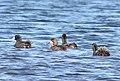 SCAUP, LESSER? (10-26-10) patagonia lake state park, scc, az -06 (5118891287).jpg
