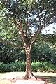 SZ 深圳 Shenzhen 福田 Futian 蓮花山 Lianhuashan Park Dec-2017 IX1 習近平種的樹 The tree planted by Xi Jinping 06.jpg