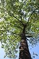 SZ 深圳 Shenzhen 鹽田區 Yantian District 深鹽路 Shenyan Road Greenway tree 樟樹 Cinnamomum camphora crown Sept 2017 IX1.jpg