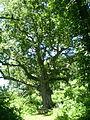 Sacred Oak - B - Yost.JPG