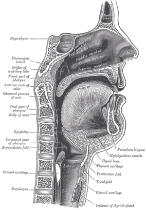 Swallowing - Sagittal view of mouth and pharynx