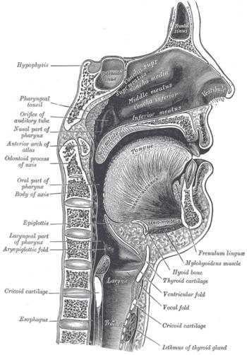 Vokaltrakt – Wikipedia