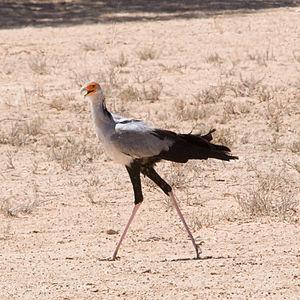 Eremopezus - Adult secretarybird (Sagittarius serpentarius)