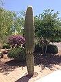 Saguaro in Oro Valley, AZ.jpeg