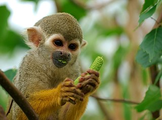 Squirrel monkey A genus of mammals belonging to the capuchin and squirrel monkey family of primates