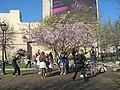 Saint Petersburg. Chinese Garden. Sakura tree2018 02.jpg