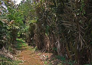 Salak - Salak agroforest, Bogor, West Java