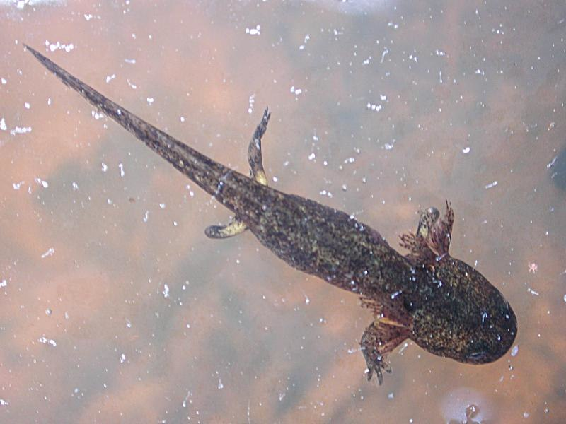 Salamandre tachetee larve