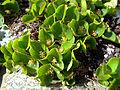 Salix herbacea male plant.JPG
