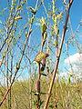 Salix purpurea 002.jpg