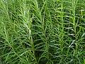 Salix viminalis M2 (2).jpg