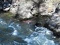 Salmon run at Adams River 2010 (5074055609).jpg