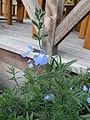 Salvia azurea2.jpg