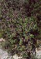 Salvia fruticosa 3.jpg