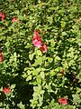 Salvia microphylla RHu 01.JPG