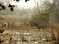 Sambar deer Rusa unicolor stag Bharatpur by Dr. Raju Kasambe DSCN2776 (32).jpg