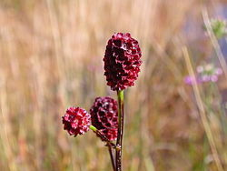Sanguisorba officinalis flower.jpg
