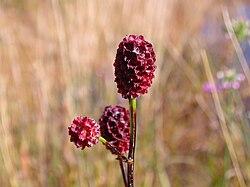 Sanguisorba officinalis flower.jpg