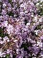 Saponaria lempergii1b.UME.jpg