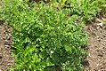 Satureja hortensis 2zz.jpg
