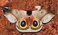 Saturniid Moth (Automeris orestes) (39453991775).jpg