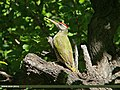 Scaly-bellied Woodpecker (Picus squamatus) (17435309591).jpg