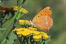 Scarce copper (Lycaena virgaureae) female underside Bulgaria.jpg
