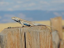 Sceloporus cowlesi adult male White Sands NM.jpeg