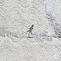 Sceloporus spinosus (Phrynosomatidae).jpg