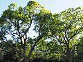 Schnurbäume am Syringenplatz.jpg