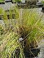 Scirpus lacustris - Botanical Garden, University of Frankfurt - DSC02701.JPG