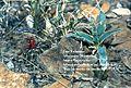 Sclerocactus wetlandicus ssp. ilseae fh 0701 Y harr s sterilis fh 1179.79 UT AA.JPG