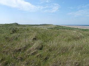 Scolt Head Island - Marram grass-covered dunes