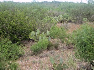Shrub - Shrub vegetation (with some cactus) in Webb County, Texas.