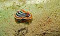 Sea Slug (Chromodoris magnifica) (6085703102).jpg