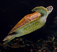 Sea Turtle side - Churaumi Aquarium.jpg