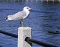 Seagull Ottawa 2005-09.jpg