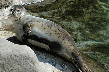 https://upload.wikimedia.org/wikipedia/commons/thumb/2/20/Seehund2cele4.jpg/360px-Seehund2cele4.jpg
