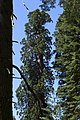 Sequoia 02.jpg