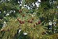 Sequoia sempervirens foliage cones Mount Tamalpais 2.jpg
