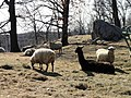 Sheep - Cummings School of Veterinary Medicine - North Grafton, MA - DSC04494.JPG