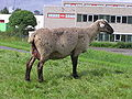 Sheep P8160015.JPG