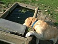 Sheep Trough - thirsty dog - geograph.org.uk - 423665.jpg