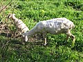 Sheep at Erlenbruck 5327.jpg