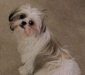 Purebred Shih Tzu pup around 4 months old